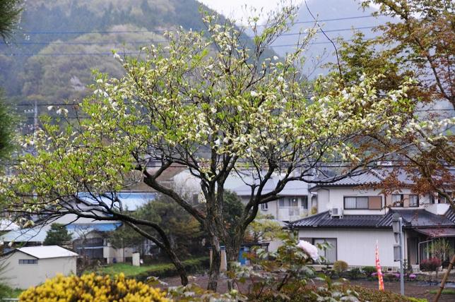 shiroyasio1.jpg